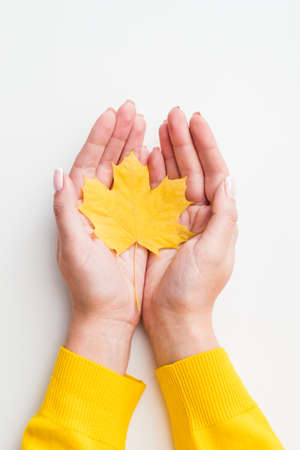 Harvest time. Top view of fall yellow maple leaf in woman hands over white background. Copy space.