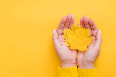 Autumn country fair. Top view of fall yellow maple leaves in woman hands over orange background. Copy space.