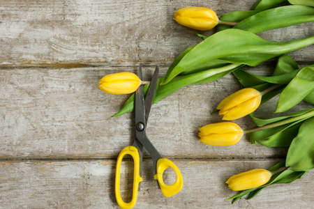 Scissors is cut yellow tulip flower on wooden background. Top view on workplace with greenhouse tool and spring flowers. Decoration equipment, florist, decorator, handmade concept.