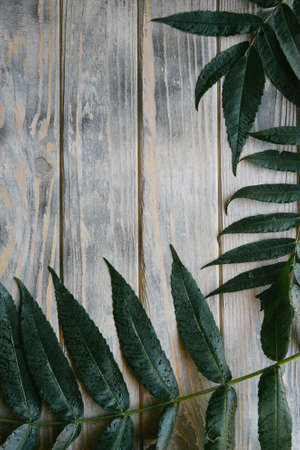 green leaves of a tree branch on distressed rough grey wooden background. flora nature and botany. free space concept.