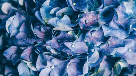Botany science. Natural flowers. Blue purple blooming hortensia. Zdjęcie Seryjne