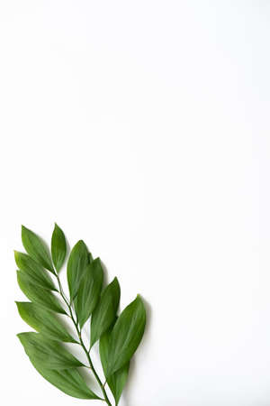 Leaves minimal background. Summer foliage. Single green fresh twig isolated on white empty space. Standard-Bild