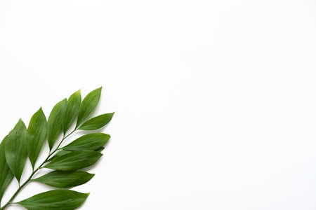 Nature minimal background. Organic design. Single green exotic leaves branch isolated on white copy space.