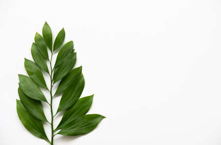 Plant minimal background. Floral design. Green leaves branch isolated on white copy space.