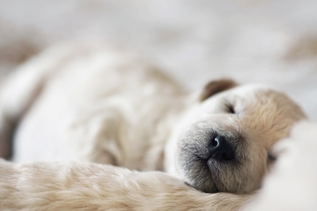 bred: sleeping puppy poodle Stock Photo