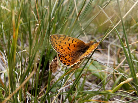 Butterfly. Field percolation (Issoria lathonia) Stock Photo