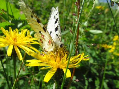 Butterfly Apollo (Parnassius apollo)