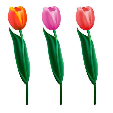 flor aislada: Flor Tres tulipanes hermosos aislados en fondo blanco.