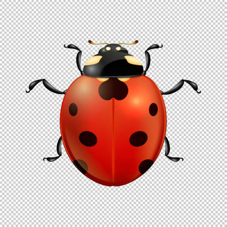 Vector close-up realistic ladybug insect icon isolated. Design template of spring symbol.