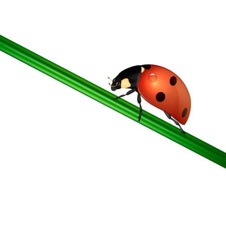 Realistic ladybug insect on white. EPS10.