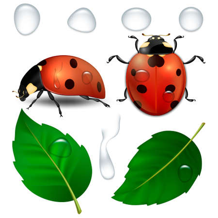 Vector close-up realistic ladybugs, water drops and leaves isolated. Illustration
