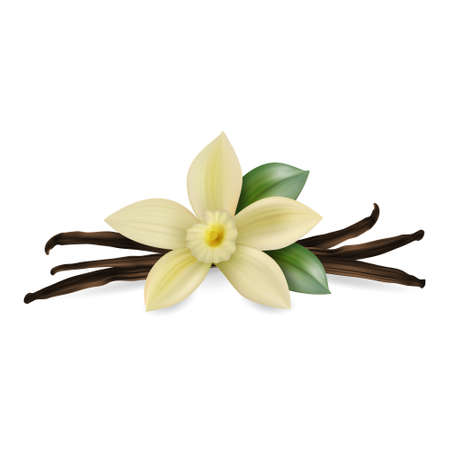 Vector 3d Realistic Composition with Sweet Scented Fresh Vanilla Flower with Dried Seed Pods and Leaves Set Closeup Isolated on White Background. Distinctive Flavoring, Culinary Concept. Front View