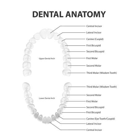 Vector 3d Realistic Teeth, Upper, Lower Adult Jaw, Top View. Anatomy Concept. Orthodontist Human Teeth Scheme Isolated. Medical Oral Health. Design Template of Prosthetics, Veneers Vektorové ilustrace