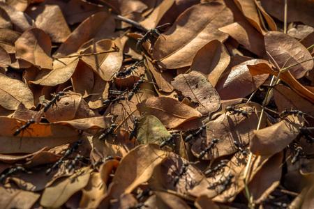 Army of razor-jaw ants, Zimbabwe