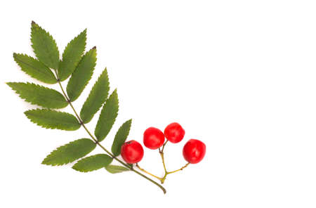 Isolated on white background rowan berries and autumn leaves