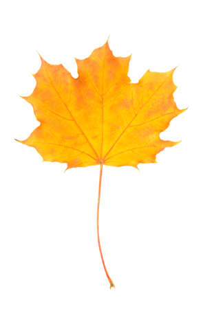 Isolated on a white background maple leaf