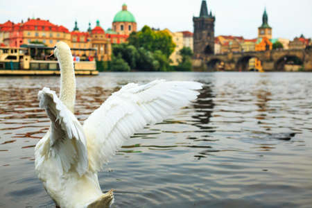 White swan taking off from water on Vltava river, towers, Charles Bridge and Prague Old Town in background, Czech republic. Urban landscape. Romantic place. Adult mute swan spreading its wings.
