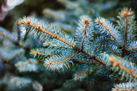 Blue spruce branches. Close-up of fir tree branches. Winter nature. Christmas tree background. Stock Photo