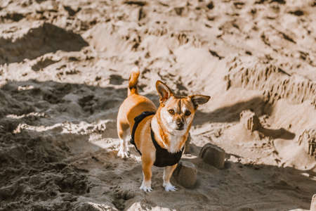 Small dog walking in harness on the sea shore