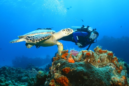 Hawksbill Turtle (Eretmochelys imbricata)and Diver photo