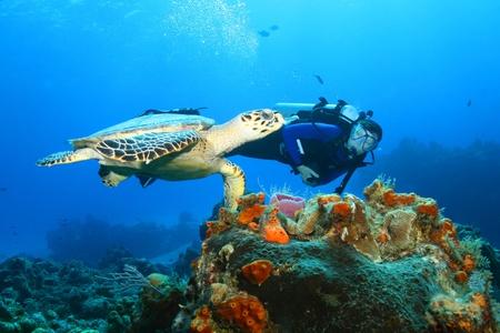 cozumel: La tortuga de Carey (Eretmochelys imbricata) y Diver