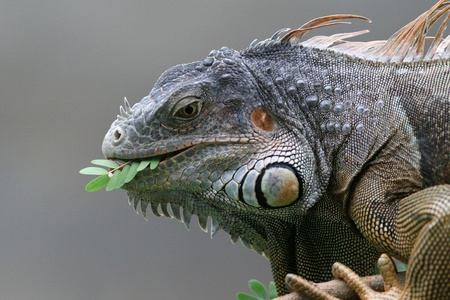 Black Iguana (Ctenosaura similis) feeding on leaves in Roatan, Honduras  Stock Photo