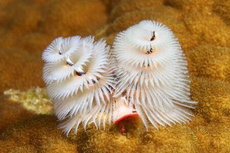 Christmas Tree Worm (Spirobranchus giganteus) - Bonaire Banque d'images