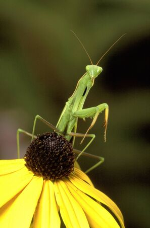 Green Praying Mantis waiting to ambush its prey on a yellow coneflower Stock fotó