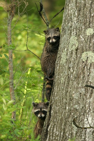pinery: Young Raccoons (Procyon lotor) climbing a tree - Pinery Provincial Park, Ontario Stock Photo