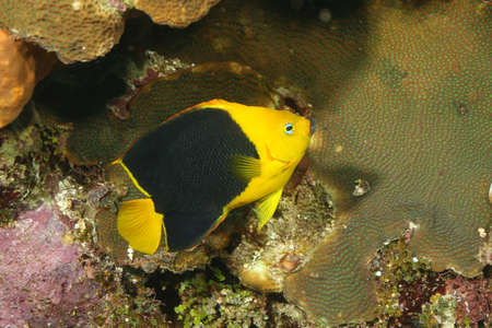 cozumel: Rock Beauty (Holacanthus tricolor) on a coral reef in Cozumel, Mexico Stock Photo