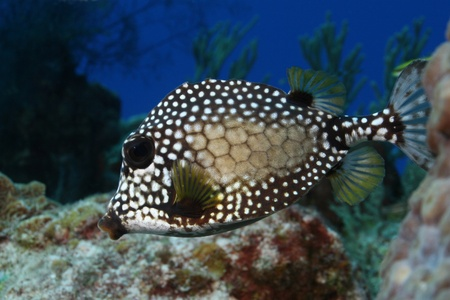 cozumel: Smooth Trunkfish (Lactophrys triqueter) on a coral reef in Cozumel, Mexico Stock Photo