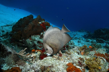 cozumel: Gray Angelfish (Pomacanthus arcuatus) - Cozumel, Mexico Stock Photo