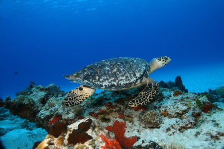 Hawksbill Turtle (Eretmochelys imbricata) swimming over coral reef in the clear blue water of Cozumel Mexico