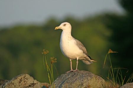Herring Gull (Larus argentatus) perched on a rock - Haliburton Highlands, Ontario