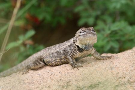 Spiny Lizard (Sceloporus magister) zittend op een rots in de woestijn, Arizona Sonoran Desert
