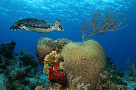 cozumel: Tortuga de Carey (Eretmochelys imbricata) nataci�n arrecife de coral en el agua azul claro de Cozumel M�xico