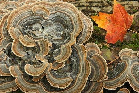 Fungus and Red Sugar Maple Leaf on a Forest Log Reklamní fotografie