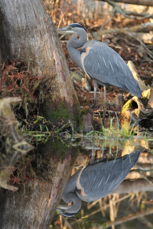 Great Blue Heron (Ardea herodias) on the banks of the Suwannee River - Okefenokee Swamp, Georgia