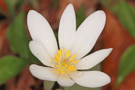 Bloodroot (Sanguinaria canadensis) - Ontario, Canada Stock Photo
