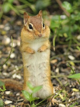 chipmunk: Eastern Chipmunk (Tamias striatus) with cheek puches full standing on its hind legs - Ontario Canada