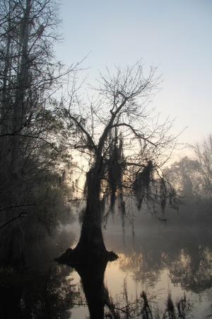 Bald Cypress Tree gehuld in de vroege ochtend mist op de Suwannee River - Okefenokee Swamp Wildlife Refuge, Georgia