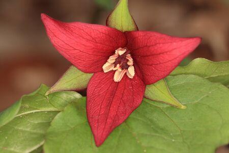 erectum: Red Trillium (Trillium erectum) - Ontario, Canada