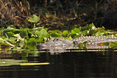 American Alligator (Alligator mississippiensis) swimming on the Suwannee River - Okefenokee Swamp Wildlife Refuge, Georgia photo