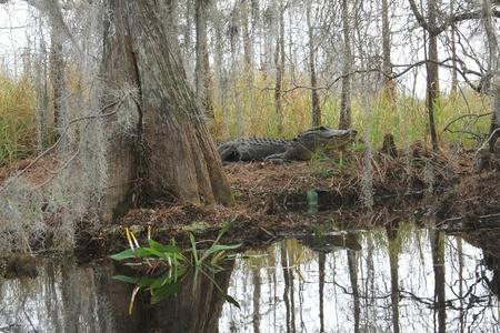 Amerikaanse Alligator (Alligator mississippiensis) in zijn natuurlijke omgeving aan de oever van de Suwannee River - Okefenokeemoeras Wildlife Refuge, Georgia