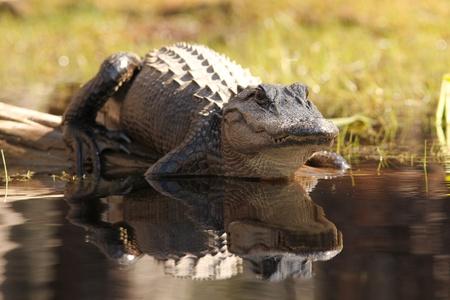 Suwannee 강 -Okefenokee 늪지 야생 동물 피난처, 그루지야의 은행에 미국 악어 (악어 mississippiensis) 스톡 콘텐츠 - 9706957