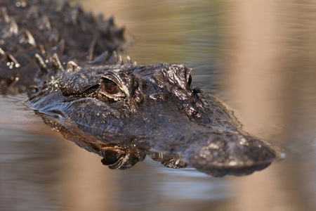 American Alligator (Alligator mississippiensis) swimming on the Suwannee River - Okefenokee Swamp Wildlife Refuge, Georgia