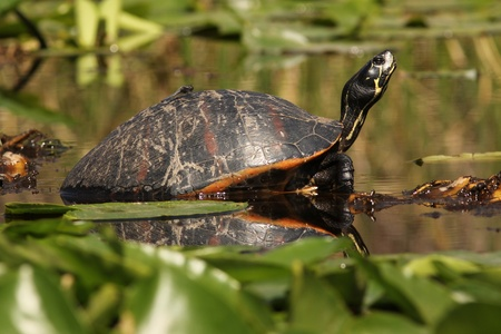 Yellow bellied Slider (Trachemys scripta) -  Okefenokee Swamp Wildlife Refuge, Georgia Imagens