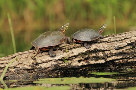 basking: Pair of Painted Turtles (Chrysemys picta) Basking on a Log - Old Ausable Channel, Pinery Provincial Park, Ontario, Canada