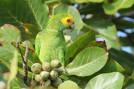 shouldered: Yellow-shouldered Parrot (Amazona barbadensis) in Almond Tree - Bonaire, Netherlands Antilles