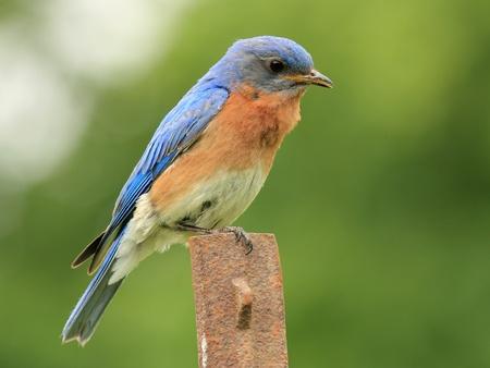 turdidae: Male Eastern Bluebird (Sialia sialis) sitting on a rusted fence post - Ontario, Canada Stock Photo